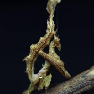 Stenophylla lobivertex Dragon mantis L5 super rare