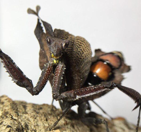 Acanthops erosula Dead leaf mantis L5